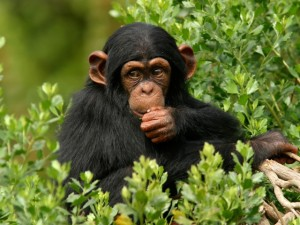 Animals_Monkeys_Chimpanzee_in_the_wood_036848_