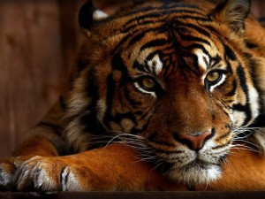 Animals_Wild_cats_Tiger_033073_29