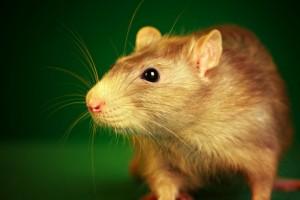 Rat-700x466 (1)