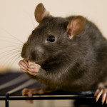 pictures-of-rats-free